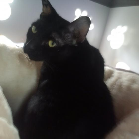 Adopter DAMGERNG, chat europeen male de 6 ans