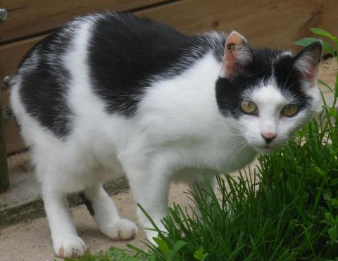 Adopter DOMINO, chat europeen femelle de 9 ans