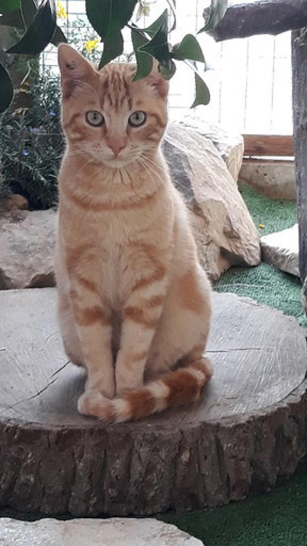 Adopter ED SHEERAN, chat europeen male de 7 mois
