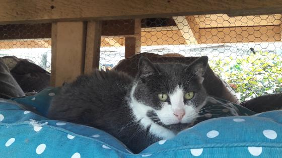 Adopter ELDAD, chat europeen male de 7 ans