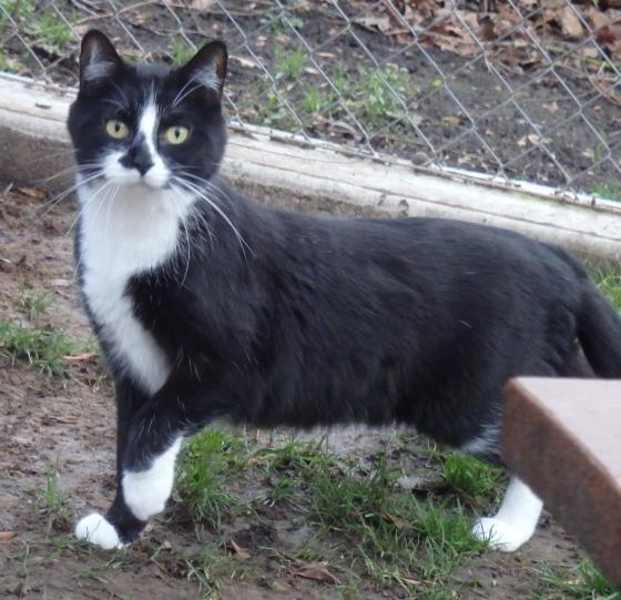 Adopter FELIX 1, chat male de 8 ans