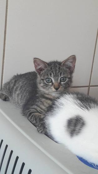 Adopter AZULA, chat europeen femelle de 1 an