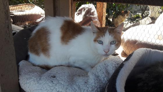 Adopter FLIPPER, chat male de 11 ans