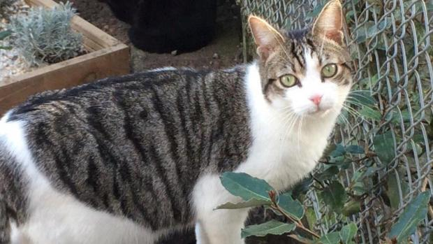 Adopter FLOCKI, chat male de 2 ans