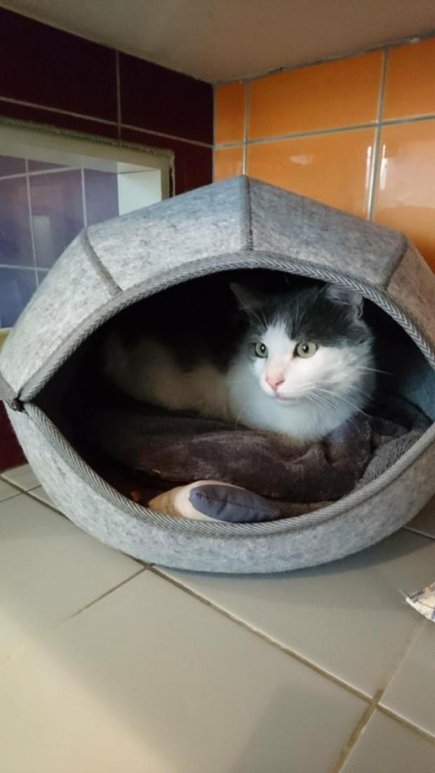Adopter GRIZOU, chat europeen male de 3 ans