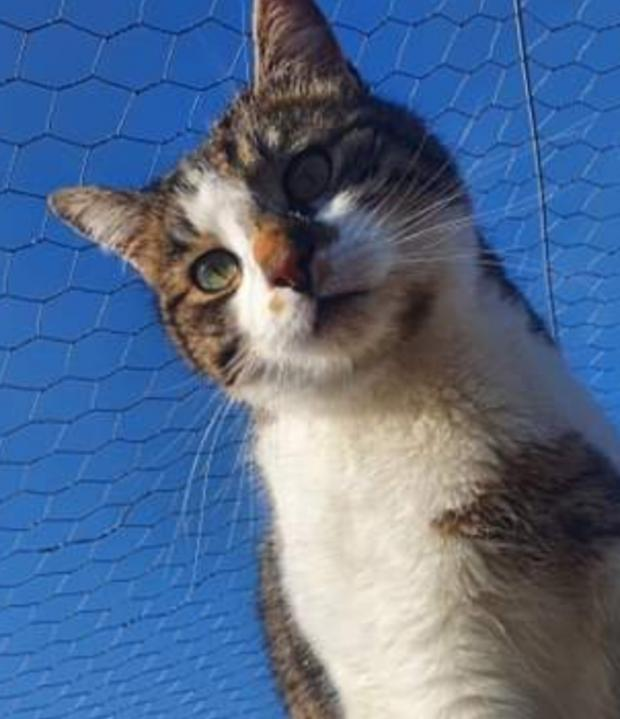 Adopter GUSTAVE, chat male de 3 ans