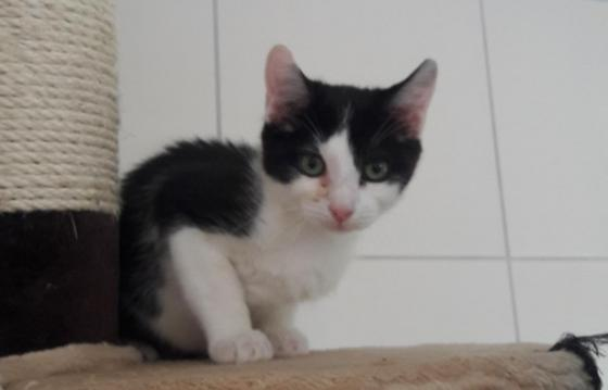 Adopter HATHI, chat europeen male de 1 an