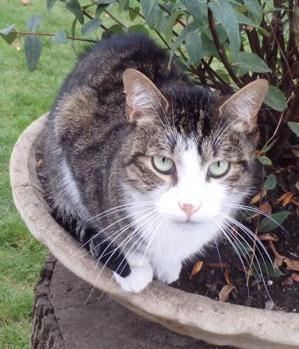 Adopter HAVANE, chat europeen male de 9 ans