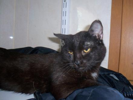 Adopter IGLOO, chat europeen male de 10 ans