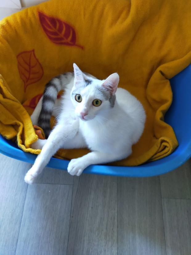 Adopter REMY, chat europeen male de 10 mois