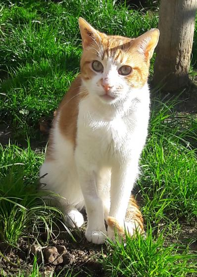 Adopter INAKI, chat europeen male de 6 ans