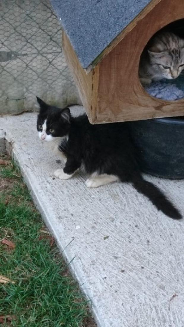 Adopter ISIDORE, chat male de Moins d'un an