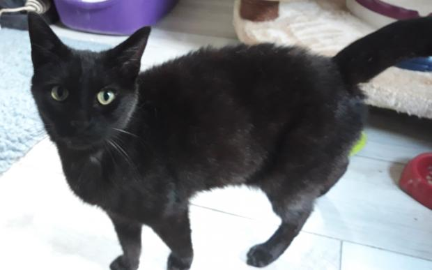 Adopter JEFF, chat europeen male de 5 ans