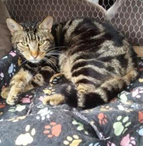 Adopter JOJO, chat europeen male de 11 ans