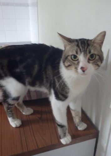 Adopter KELLER, chat europeen male de 4 ans