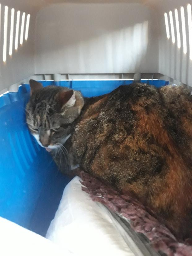 Adopter KOALY, chat femelle de 12 ans