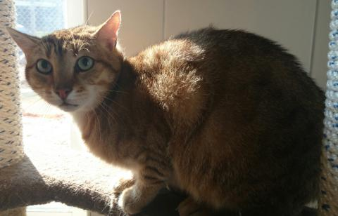 Adopter LARGO, chat europeen male de 9 ans