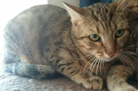 Adopter LECTER, chat male de 8 ans