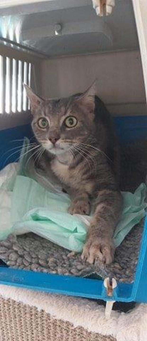 Adopter lemmon, chat europeen male de 2 ans