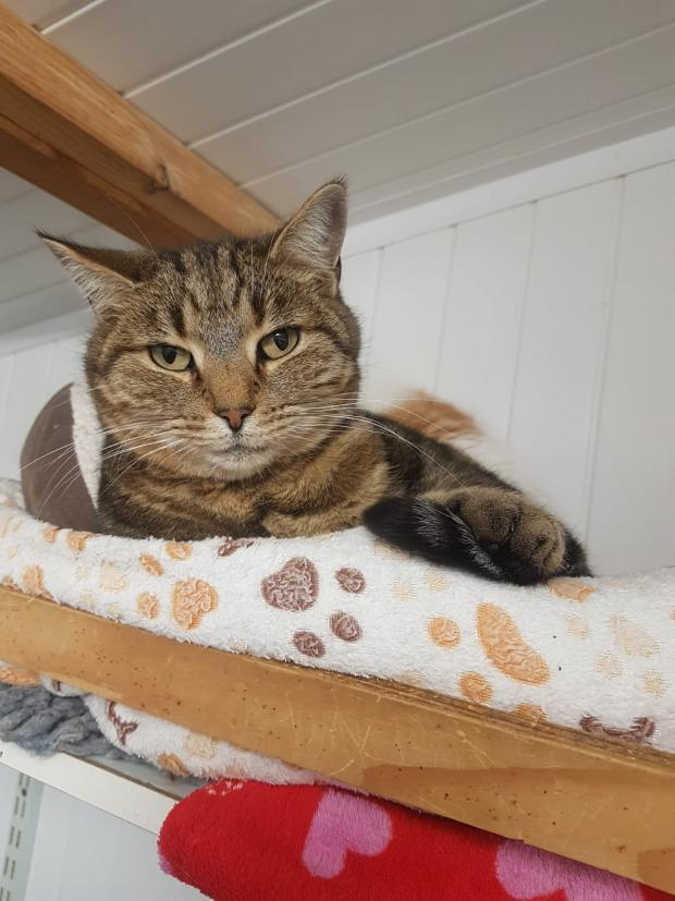 Adopter LOUPIOTE, chat europeen femelle de 7 ans