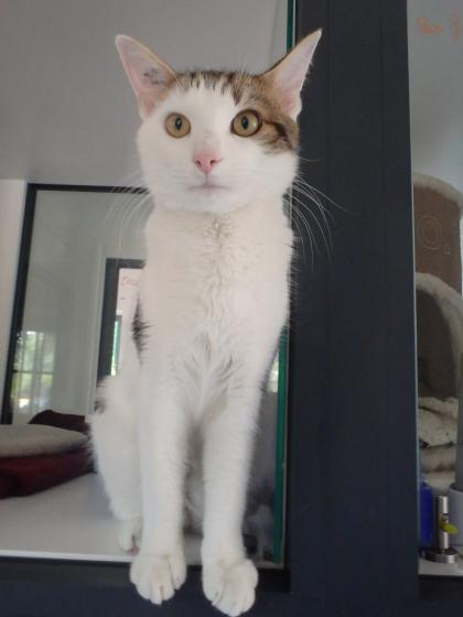 Adopter LUNA alias LUNI, chat europeen male de 2 ans