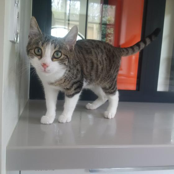 Adopter MALIBU, chat male de 1 an