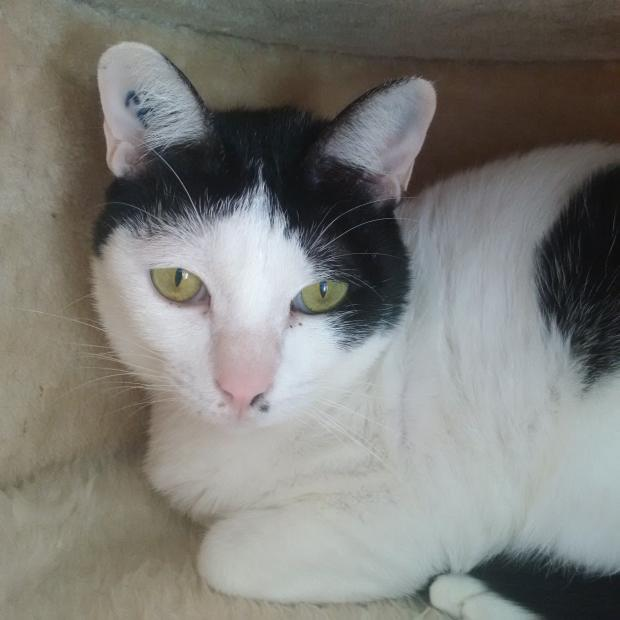Adopter Manow, chat femelle de 5 ans