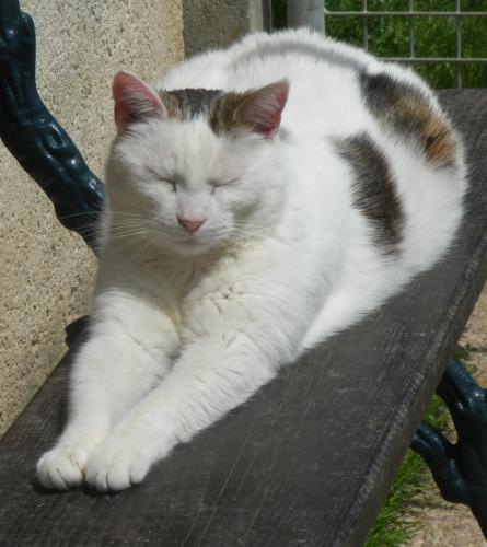 Adopter MITSY, chat femelle de 12 ans