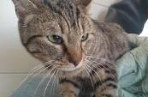 Adopter MYRTHA, chat europeen femelle de 5 ans