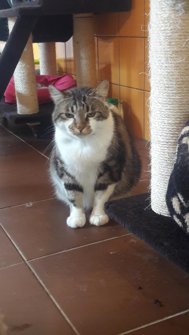 Adopter NAPOLEON, chat male de 7 ans