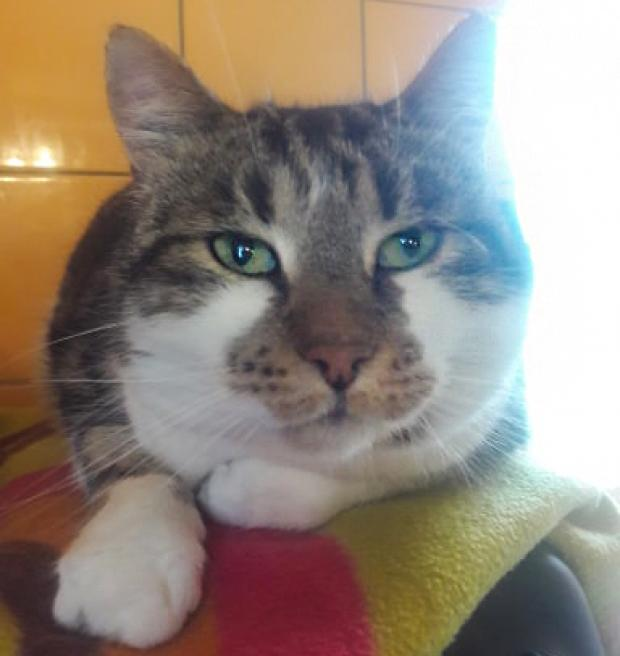 Adopter NAPOLEON, chat europeen male de 7 ans