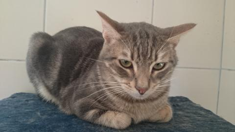 Adopter NIKOLA, chat male de 5 ans