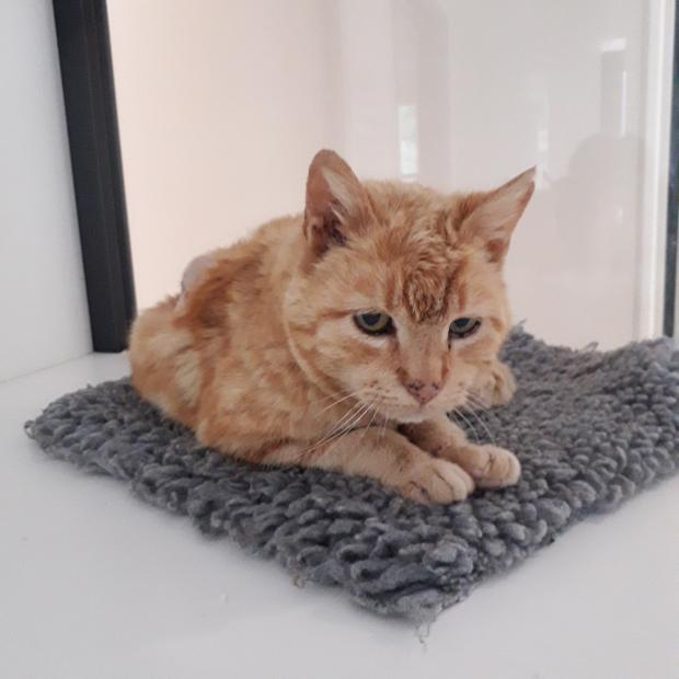 Adopter noisette, chat europeen male de 9 ans