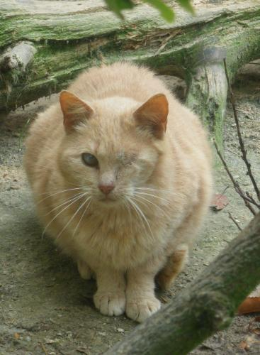 Adopter NONOTTE, chat europeen male de 12 ans