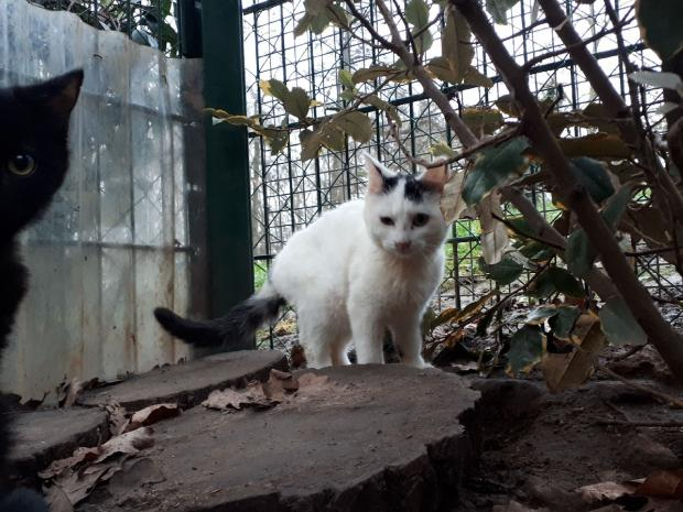 Adopter ORPIE, chat europeen femelle de 1 an