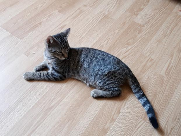 Adopter OSTROGO, chat male de 3 ans