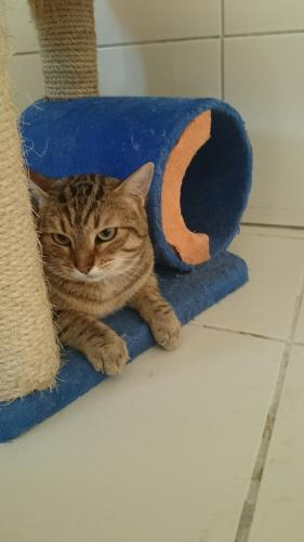 Adopter PANAMA, chat europeen male de 9 ans