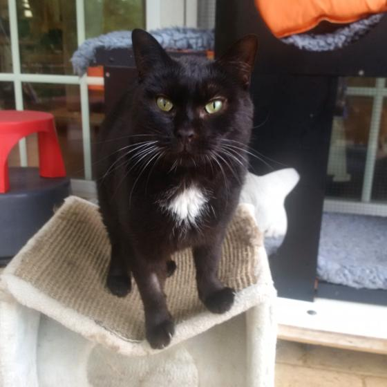 Adopter PANTHERE, chat europeen femelle de 8 ans