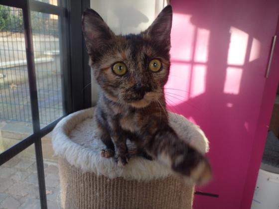 Adopter PHOEBE, chat europeen femelle de 1 an