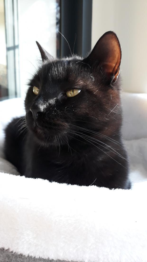 Adopter PIKACHU, chat male de 8 ans