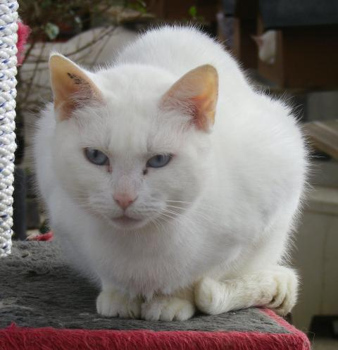 Adopter PIRATE, chat male de 14 ans