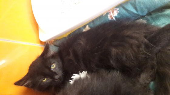 Adopter PUMBA, chat europeen male de 1 an