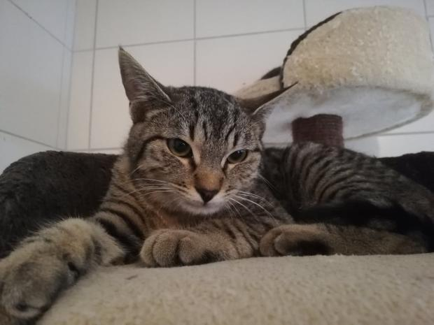 Adopter QUINCY, chat europeen male de 12 mois