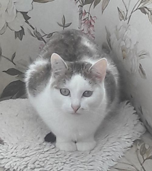 Adopter RAPHAELO, chat male de 6 ans