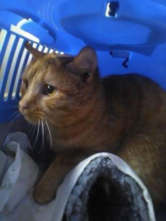 Adopter BLENNY, chat europeen male de 4 ans