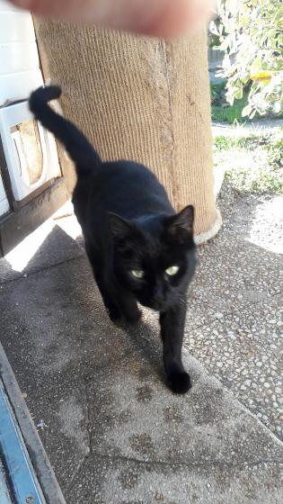 Adopter VELOUR, chat europeen femelle de 5 ans