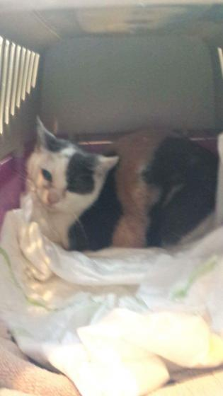 Adopter PUNKITY, chat femelle de 4 ans