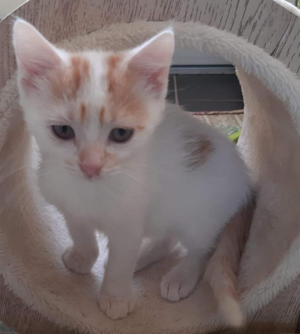 Adopter HIRO, chat europeen male de 4 mois