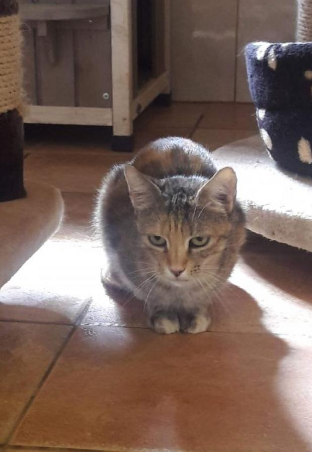 Adopter KOALY, chat femelle de 14 ans