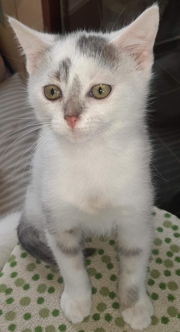 Adopter SHIMA, chat europeen male de 5 mois